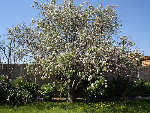 Rboles ornamentales c mo elegir los m s adecuados - Arboles ornamentales para jardin ...