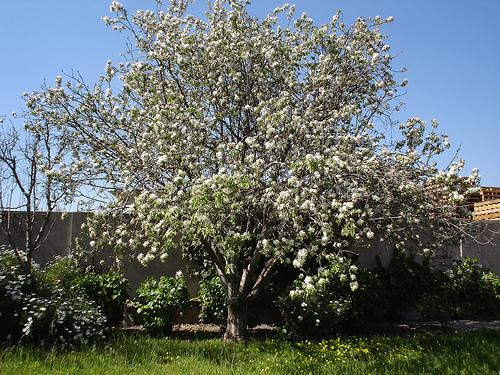 Rboles ornamentales c mo elegir los m s adecuados for Frutas ornamentales