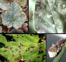 falta de fósforo en las plantas