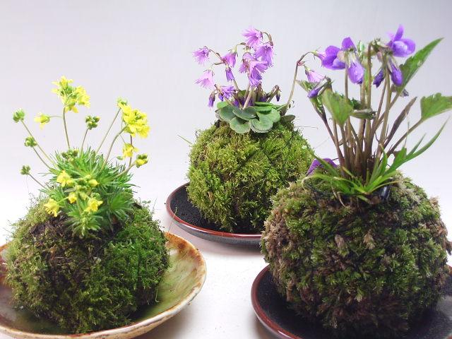 Kokedama: plantas en bolas de musgo. cuidados y riego