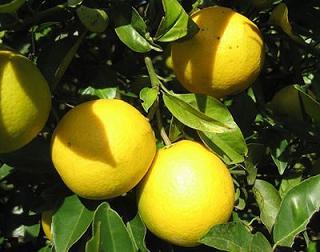 Las plagas más comunes en los frutales y como combatirlas