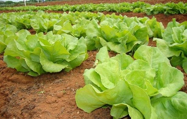Nociones b sicas para preparar huerta en casa parte i for Plantas para huerta organica