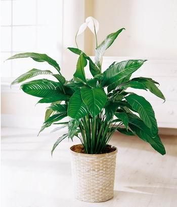 Como Elegir Plantas De Interior Plantas Plantas Interior Flor De - Plantas-interior-con-flor