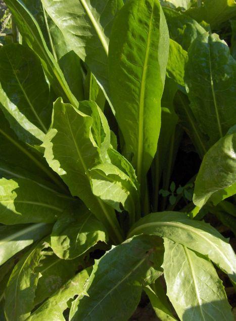 Achicoria: cultivo, suelo, riego y cosecha