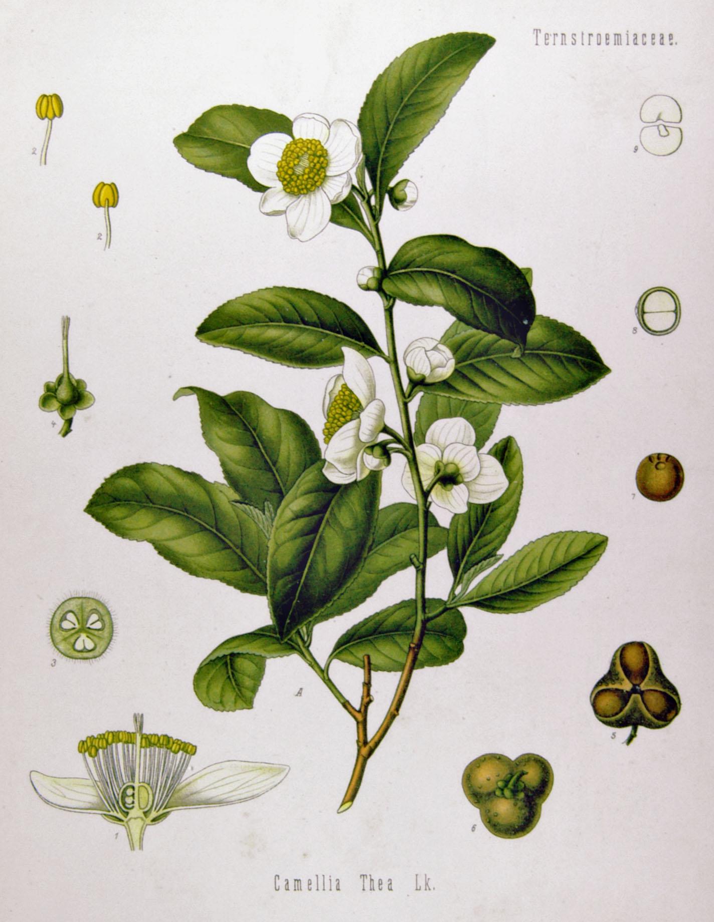 Camellia Sinensis o Planta de Té: cultivo, cuidados y cosecha
