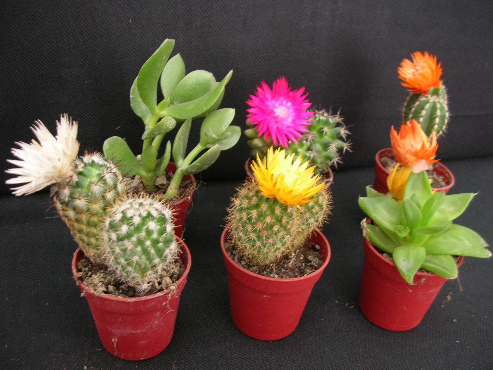 Cactus cuidados y mantenimiento plantas flor de planta for Cactus cuidados exterior