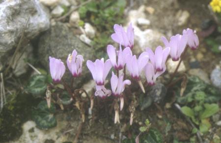 Con cada año que pasa, la violeta de los Alpes, aumenta el número de flores.