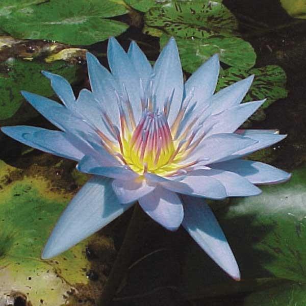"Nymphaea ""Blue Beauty"""