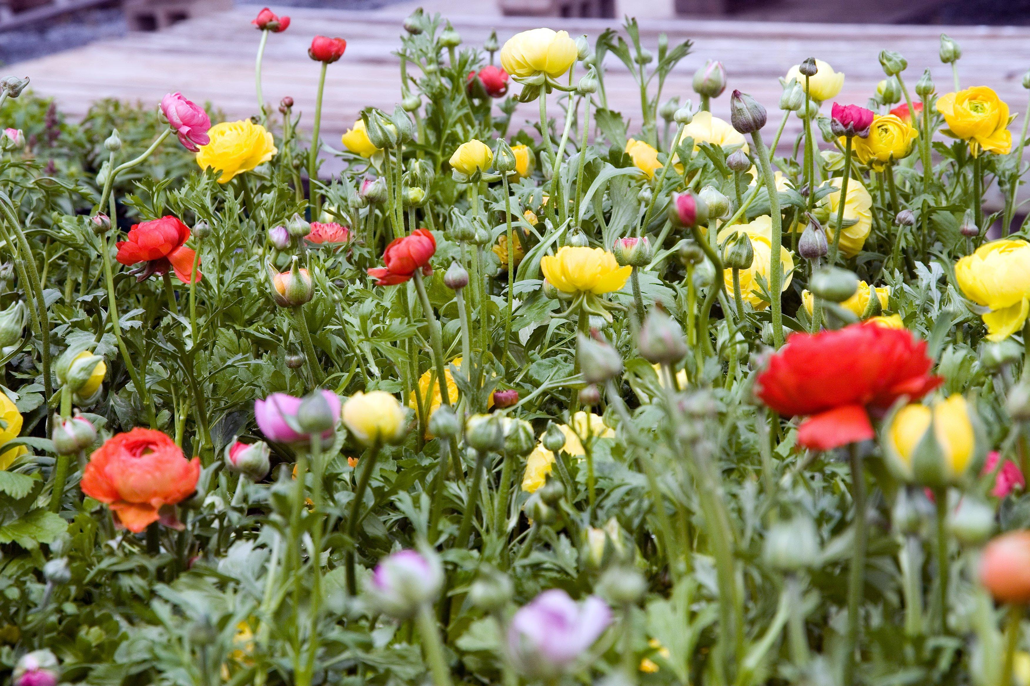 Ranúnculo multicolor: riego, cultivo, cuidados