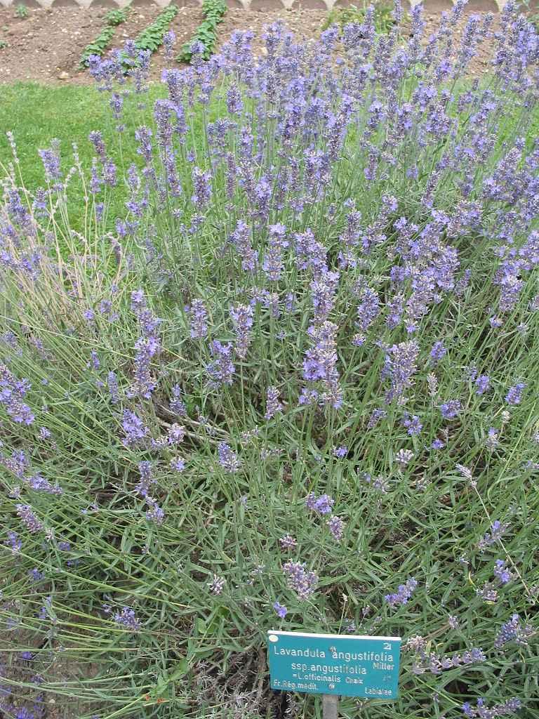 Lavanda cultivo riego y cuidados aromaticas flor de for Lavanda cultivo o cuidados