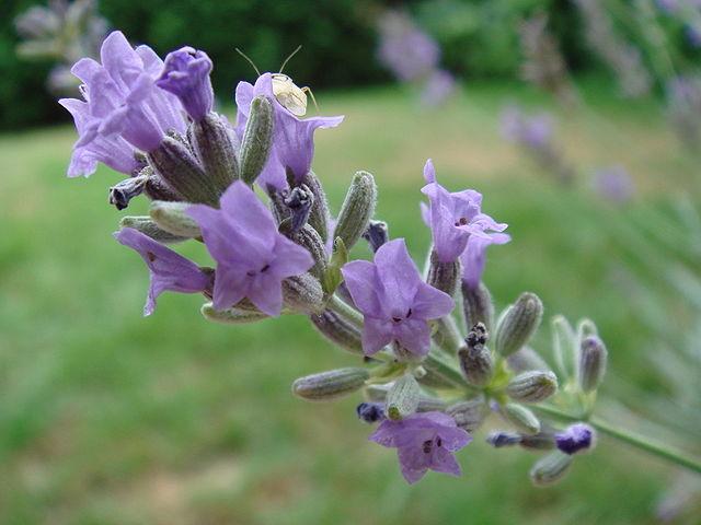 Lavanda cultivo riego y cuidados aromaticas flor de - Cuidados planta lavanda ...