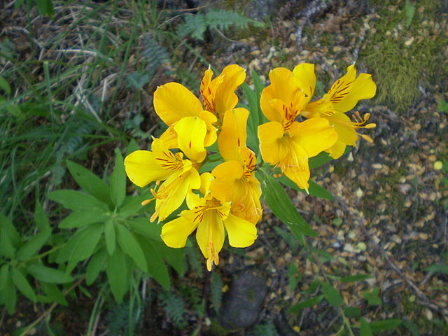 Plantas perennes la colorida y hermosa alstroemeria - Plantas perennes exterior ...