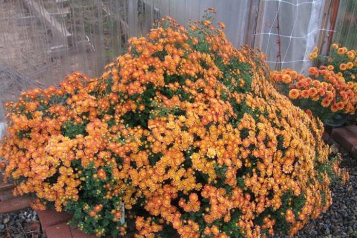 Foto: National Chrysanthemum Society
