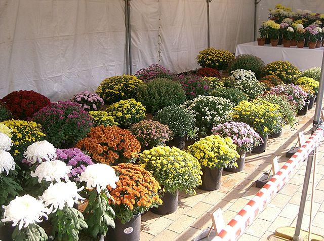 Crisantemos: Variedades de jardín, mantenimiento y cuidados