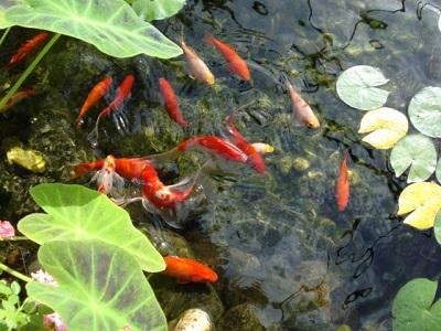 peces_estanque