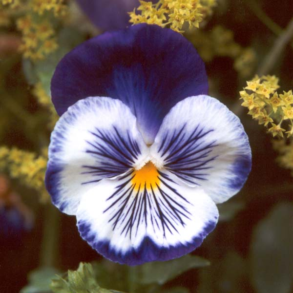 Foto: Pansy Flowers