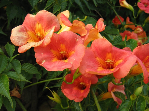 Trompeta china trepadora (Campsis Grandiflora)