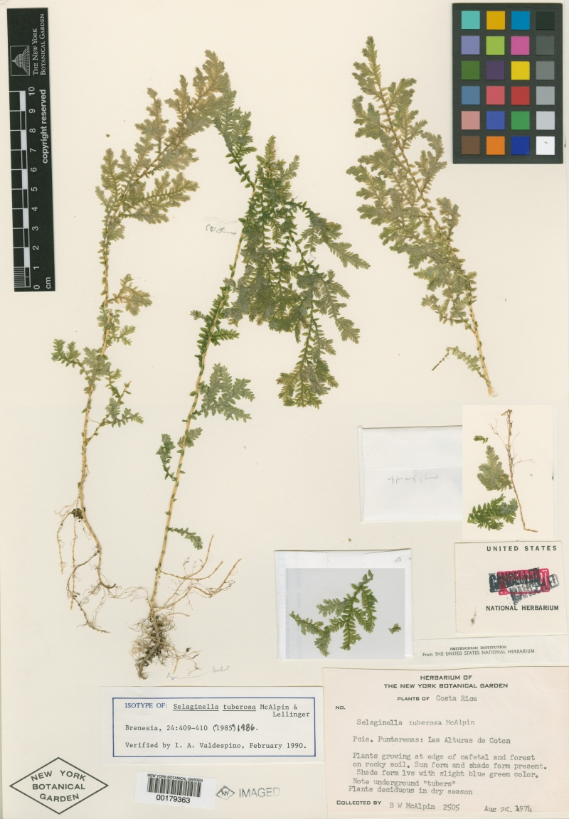 Espécimen conservado en el herbario del New York Botanical Garden
