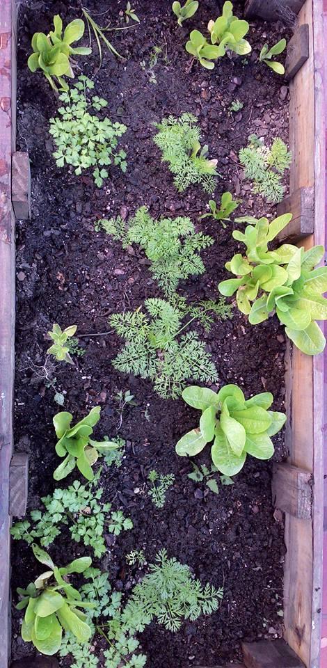 Huerta cultivada en un cajón de madera, ideal para terrazas o balcones (Foto. Mi Huerta Urbana)
