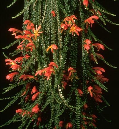 Plantas Colgantes De Interior La Columnea Plantas Interior Flor - Plantas-colgantes-de-interior