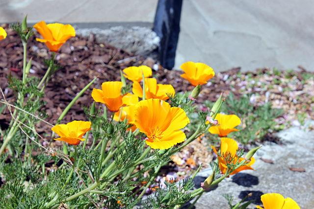 Eschscholzia californica_2