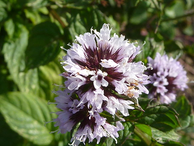 Mentha_piperita_flower_Magnus_Manske