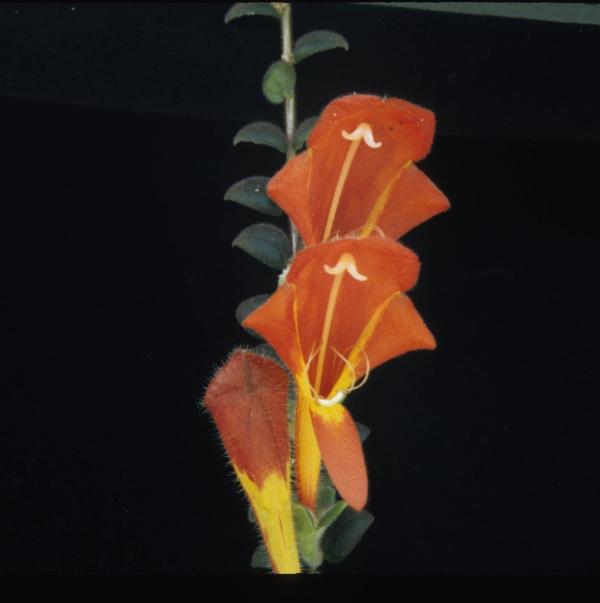 Plantas colgantes de interior la columnea plantas - Plantas de sol y sombra ...