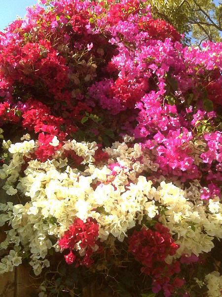 Bougainvillea-3colors_jengod