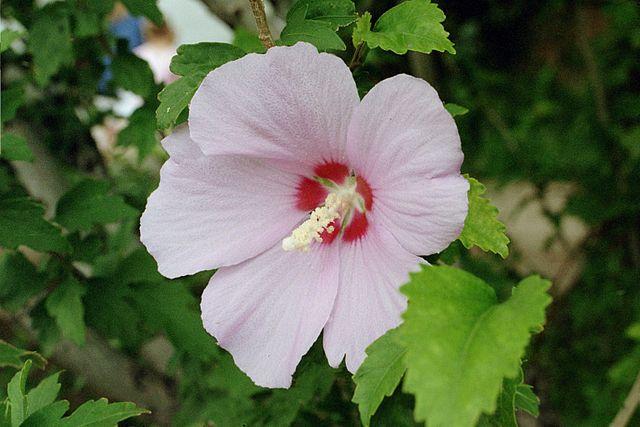 Flor de Hibiscus Syriacus. Autor: Eric Kounce