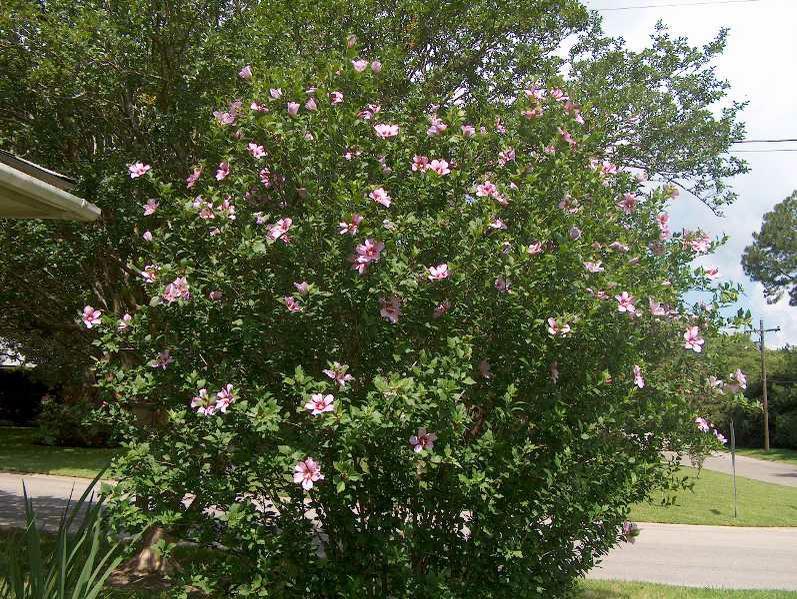 hibiscus_Syr_1