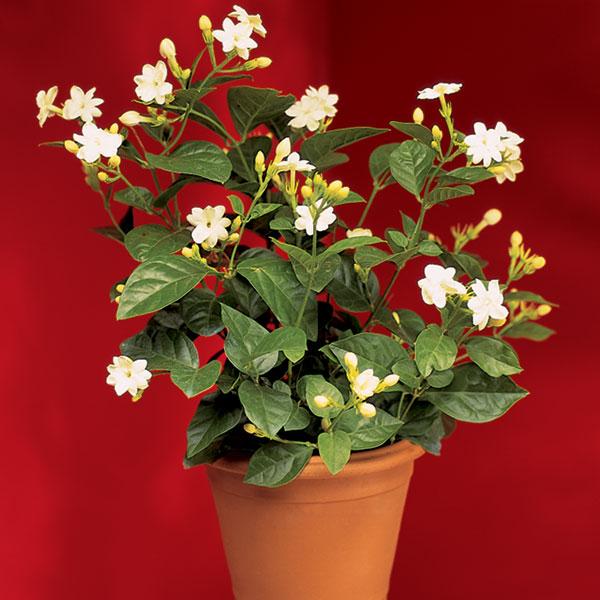 """La """"Doncella de Orleans"""", uno de los cultivares más difundidos del Jazmín de Arabia."""
