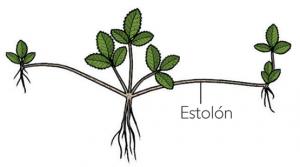 estolon