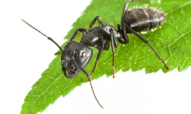 Cómo combatir a las hormigas en forma natural y económica