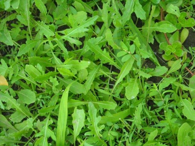 Rúcula, cultivo, suelo y cuidados