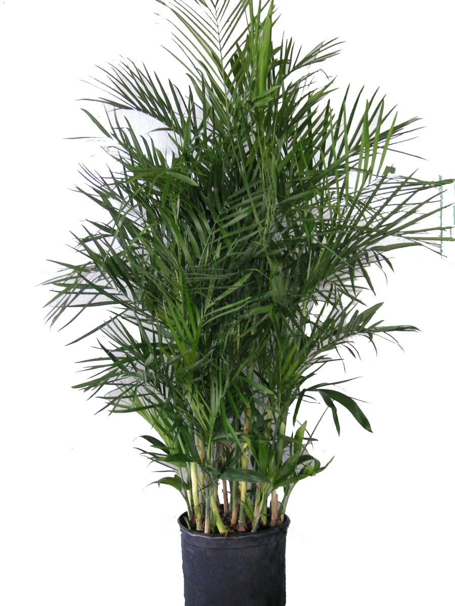 Palma de bamb cultivo y cuidados plantas interior flor for La oficina caracteristicas