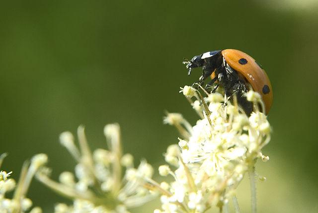 La Vaquita de San Antonio, un insecticida natural para proteger jardines y huertos