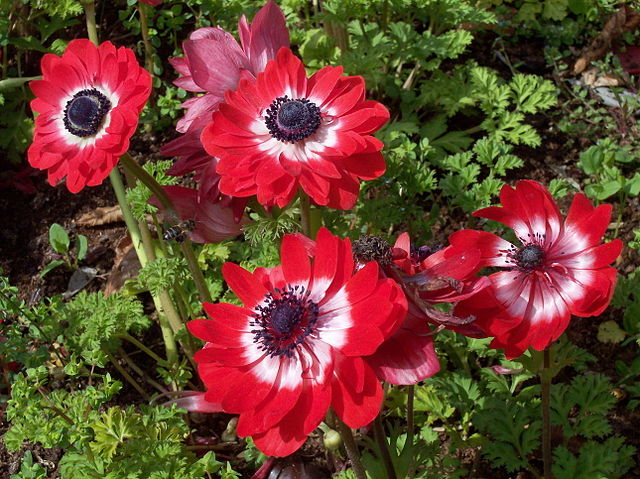Anemone_coronaria_The_Governor_A_Barra