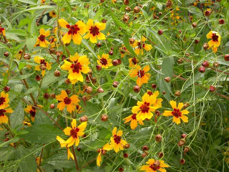 Xerojardinería: Especies anuales que pueden cultivarse
