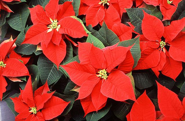Flor de pascua o estrella federal: Cultivo, riego y cuidados