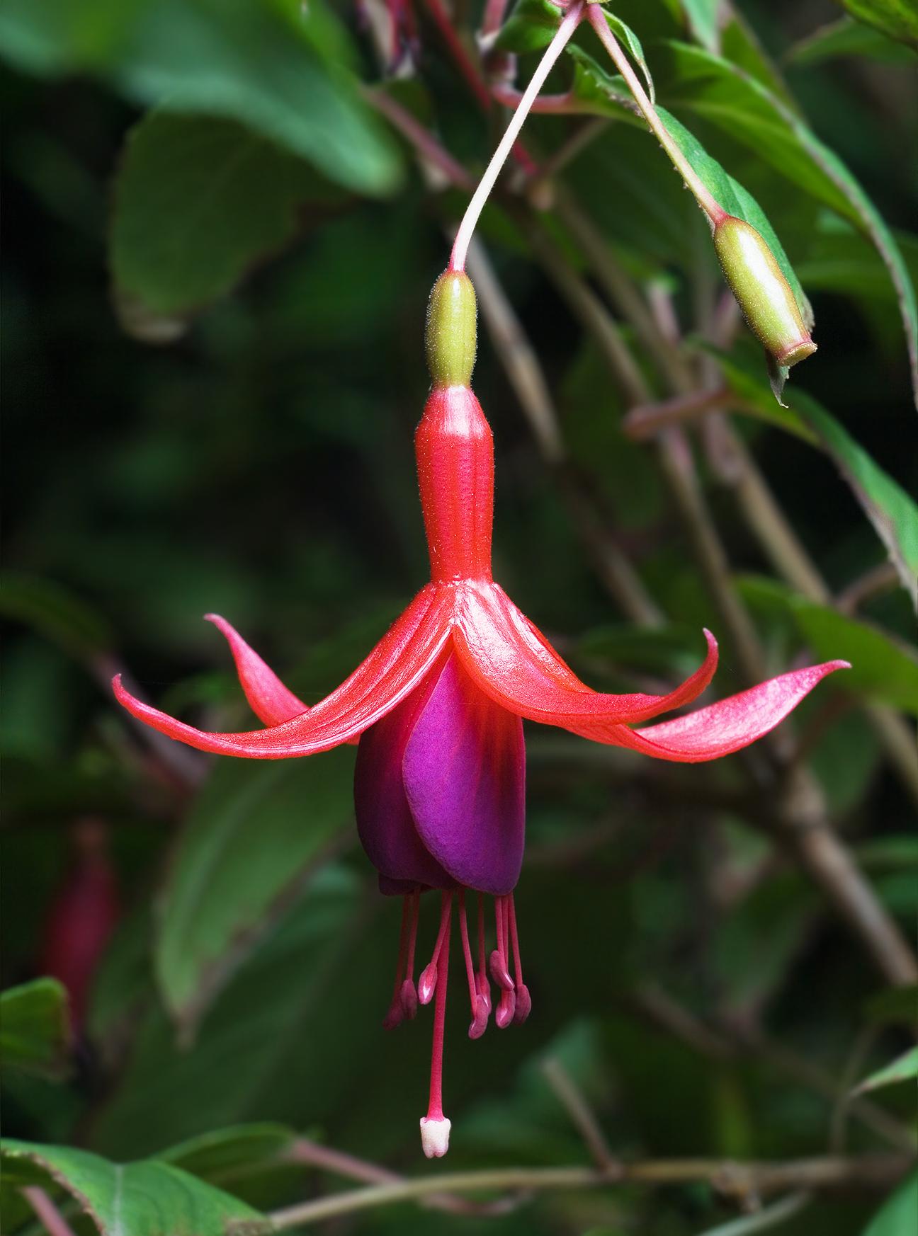 Fucsia: Cultivo, riego y enfermedades