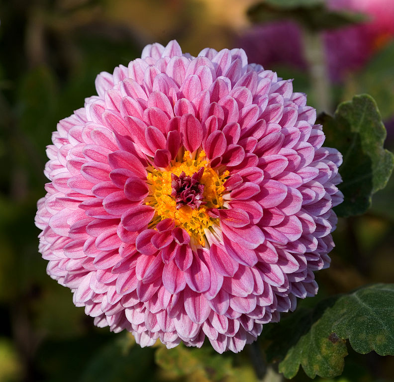 crisantemo_1