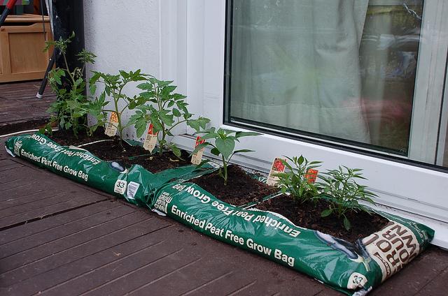 Plantas de tomate y pimiento cultivadas en bolsa (Foto: Jeremy Tarling)