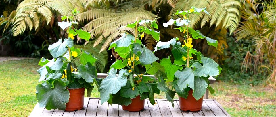 Pepino cultivo riego y cuidados huerta flor de planta for En cuanto tiempo se cosecha la tilapia