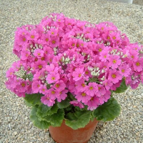 Flores para embellecer un jardín en otoño-invierno: Primulas, crisantemos y pensamientos