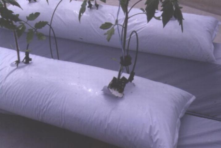 Técnica de cultivo de tomates en bolsas