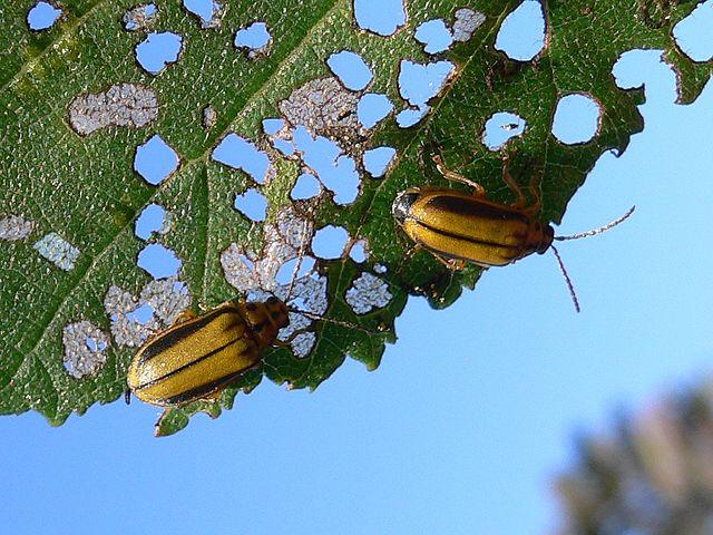 La vaquita del olmo: Cómo proteger a los árboles de esta destructiva plaga