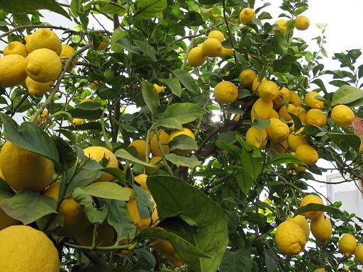 citrico1