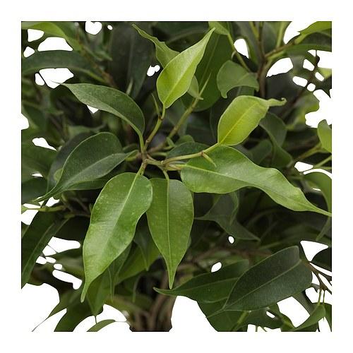 Ficus Benjamina: Cultivo, riego y cuidados