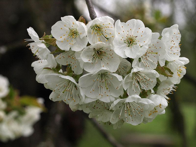 Cerezos: Árboles polinizadores recomendados para cada variedad