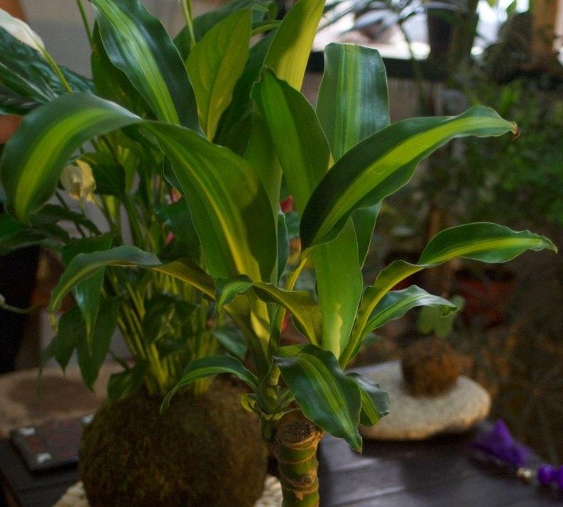 Palo de agua cultivo y cuidados plantas interior flor - Cuidados plantas interior ...